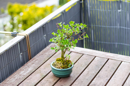 hinoki: Bonsai miniature tree on a table of a balcony.