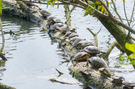 water turtle: Water turtle (Chrysemys picta) sitting on tree. Basks in the morning sun on a pond