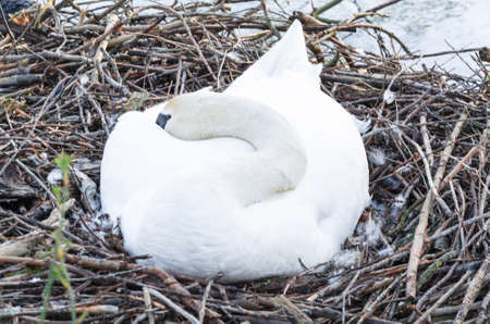 incubation: Mute swan at its nest with eggs in an urban park.