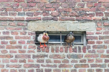 projecting: Two ducks on a projecting wall on a basement window.