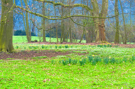 clearing: Magically acting forest clearing with a green meadow and wild daffodils, Stock Photo