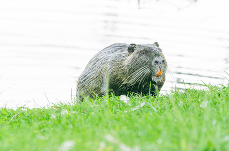 dikes: The Nutria (Myocastor coypus) also Coypu, water rat, coypu, nutria, beaver tail or tail of rat called.