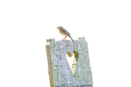 wooden chair: Robin on a wooden chair with a green insect in its beak. Stock Photo