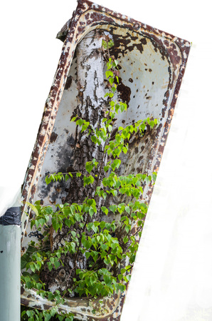 adherent: Old bathtub is adherent to a tree. Isolated against white background
