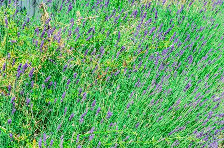 fragrant bouquet: Lavender field in the Mediterranean Sea with flowers in summer.