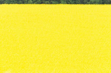 flowering: Landscape, yellow flowering Rapsfeld blue sky. Landscape
