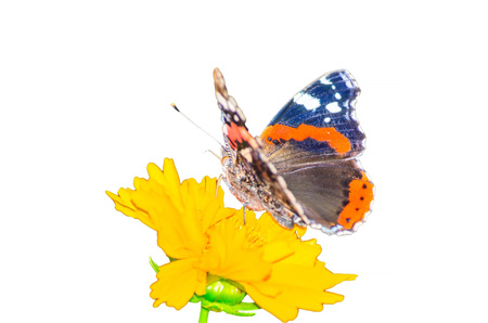 nettle: Beautiful colorful butterfly resting on a yellow flower, against white background. Stock Photo