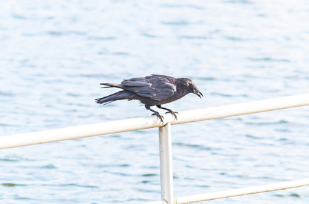 aas: Crow on the lookout for food. Sitting on a railing.