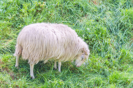 graze: Graze sheep with horns on a green meadow at Stock Photo