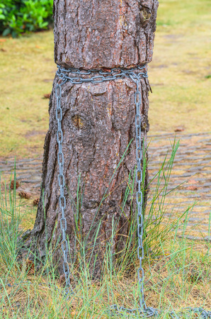 iron chain: Injured Barkskin. Ingrown iron chain in a tree bark.