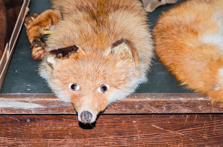 lifelike: Close up of an antique fox stole. Stock Photo
