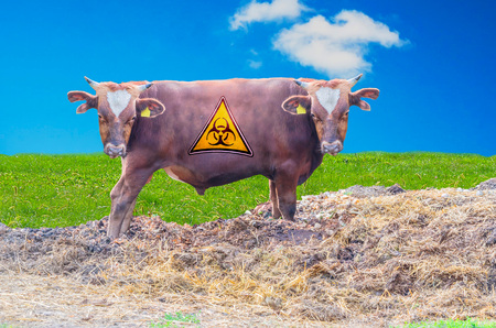 grazing land: Photomontage, Breeding bull with two heads through genetic manipulation. Stock Photo