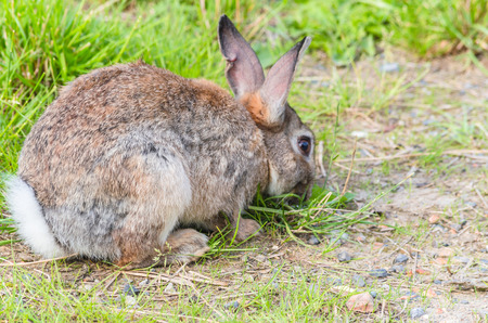 oryctolagus cuniculus: Wild rabbit photographed from the side sitting relaxed in the grass and eats. Stock Photo