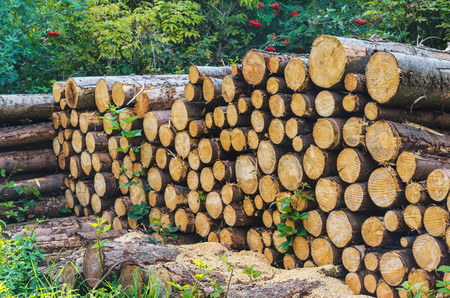 oak trees: Woodpile in the forest to dry for use as firewood