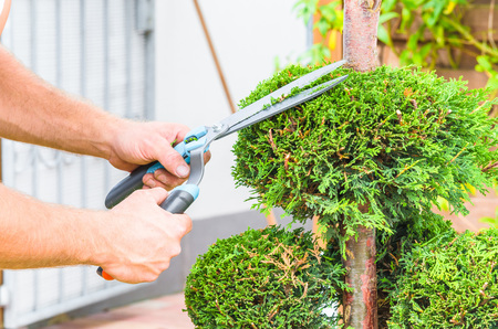 Gardeners in front of a house in the front yard. Trim a Tree of Life or Thuja tree with a hedge trimmer or chainsaw small to maintain its ornamental form. Standard-Bild