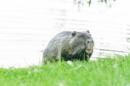 dikes: The Nutria Myocastor coypus Coypu ie, water rat, coypu, nutria, beaver tail or tail of rat called.