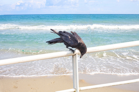 aas: Crow sitting on a railing and looks for food. In the background of water.