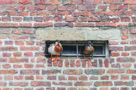 freshwater bird: Two ducks on a projecting wall on a basement window.