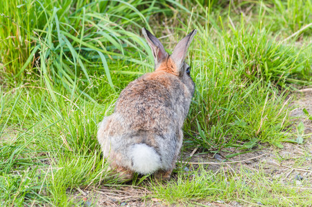 oryctolagus cuniculus: Wild rabbit sitting relaxed in the grass and eats. Stock Photo