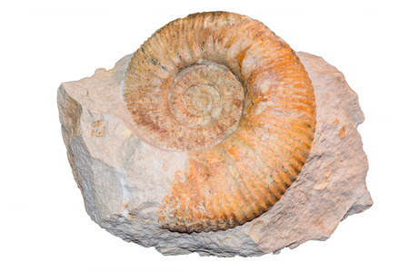 Closeup Ammonite fossil in a limestone plate against white background.