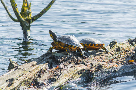 water turtle: Closeup of a male and female turtles on a tree trunk in the calm waters.