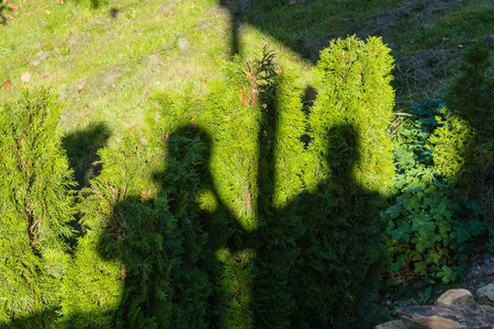 shadow people: Shadow of two people on a green hedge.