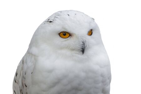 virginianus: Portrait of a Snowy Owl on a white background Stock Photo