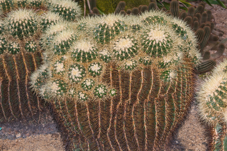 spines: Cactus. Different green cactus with thorns and many small long green spines.
