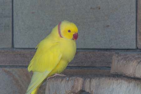 red beak: Yellow Parrot with a red beak.