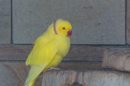 beak: Yellow Parrot with a red beak.