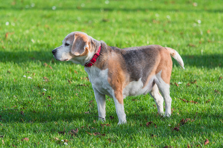 sitter: Young brown white dog on a green meadow