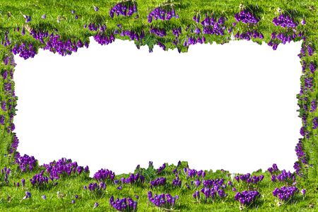 flowerbed: Beautiful frame with flowers, crocuses on white background.