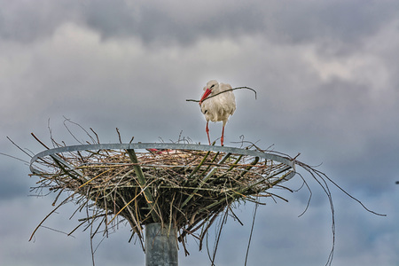 cranesbill: HDR processing. Artistic work of my own. Close up two storks on the nest before dramatic sky Stock Photo