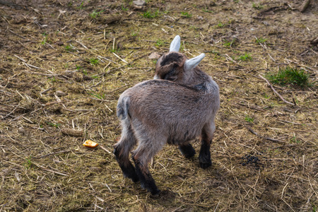 black bitch: Goats that eat grass, goat on a pasture.