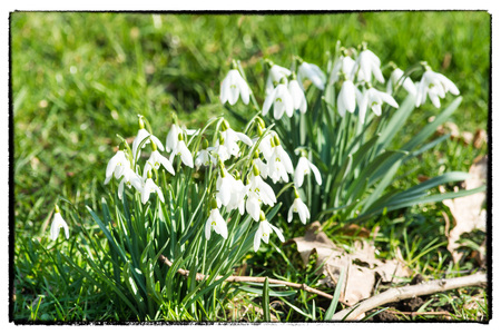 old postcard: Old Postcard, snowdrops on blurred background with photo frame.