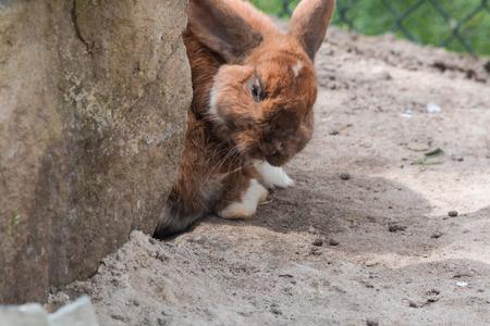 suelo arenoso: Conejo de Brown - Bunny sentado en el suelo arenoso.