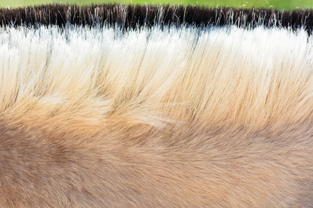 mane: Detail, Beautiful mane of a small horse, pony. Stock Photo