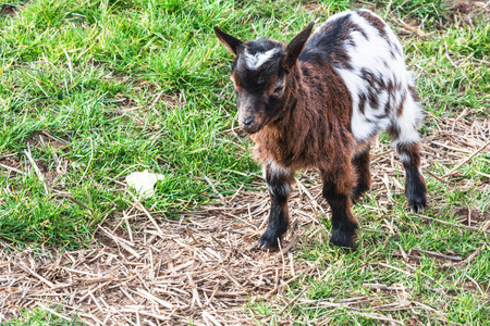 black bitch: Small young goat on a meadow.
