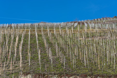 Vineyards on the Moselle against a blue sky. Stock Photo