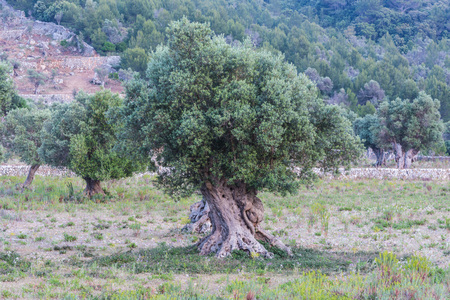 lamiales: Olive trees in a row. Olive tree plantation in Mallorca in Spain.