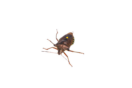 Forest bug lat. Pentatoma rufipes. It belongs to the family of stink bugs lat. Pentatomidae.