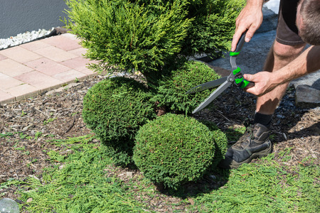trimmer: Thuja or boxwood with a hedge trimmer in form cutting