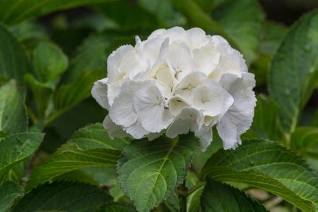 White hydrangea Hydrangea Latin belong to the genus hydrangeaceae lat. Hydrangeaceae. Stock Photo
