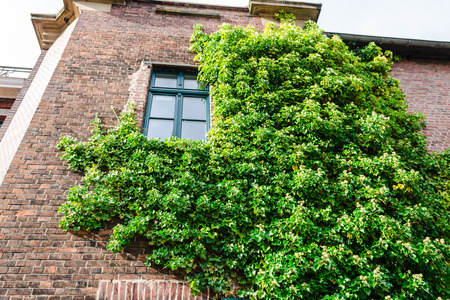 Ivy growing on a building wall is used for facade greening and heat retention. Stock Photo