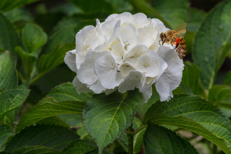 Bee in flower blossom. Honeybee at pollinate a white flower. Stock Photo