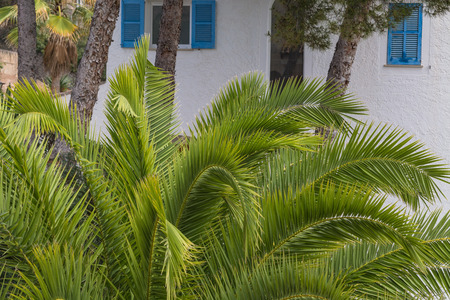 mallorca: Green palm leaves in the background pine trees and a white wall.