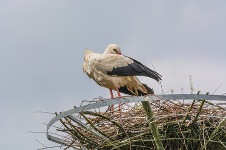 cranesbill: Two storks on the nest at the  nest building