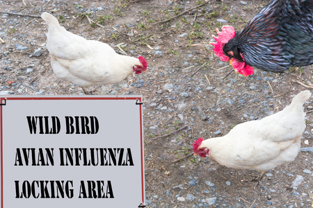 commanded: Sign with red border and inscription in English Wild Bird - avian influenzaLocking area. In the background a rooster and two chickens.