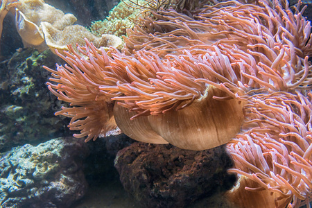 pink anemonefish: Beautiful pink sea anemone with many tentacles to catch plankton, fish, crabs or snails. Underwater view.