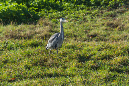 newts: Heron, great grey Heron in the grass by the lake Stock Photo